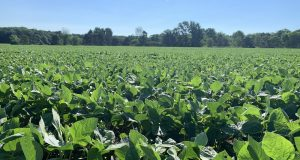 soybeans, soybean field,