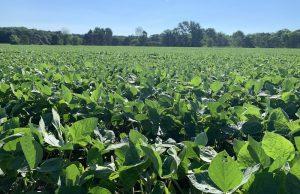 soybeans, soybean field,